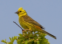 Yellowhammer at Gorse Hill